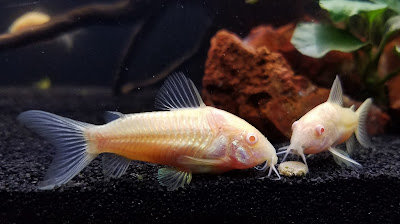 albino cory catfish having a romantic dinner, Lady and the Tramp style