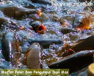 Master Pelet Bom Pengumpul Ikan Mas