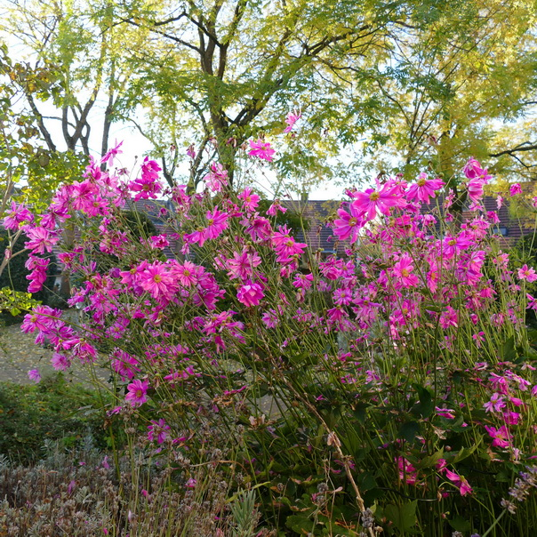 Herbstanemonen, Herbstgarten, Bäume, Herbst, Pink, Rosa