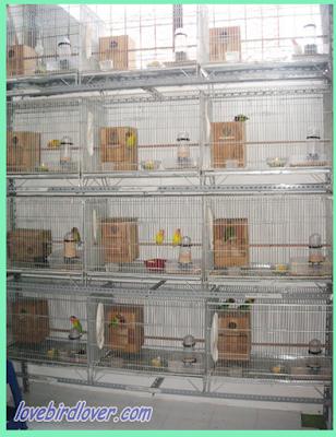Sharing Berternak Lovebird dengan Kandang Koloni