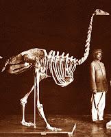 Esqueleto Aepyornis