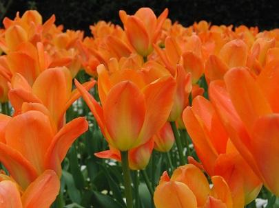 nervenruh Tulpen