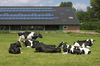 Cows grazing in open field with Cattle Shed fitted  with solar panels from ups manufacturers