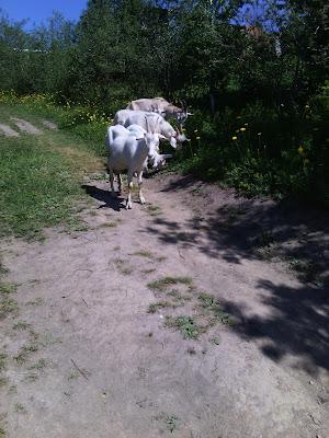 козы пасутся