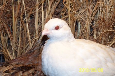 Bobwhite | A-Z List of 125 Rare Albino Animals [Pics]