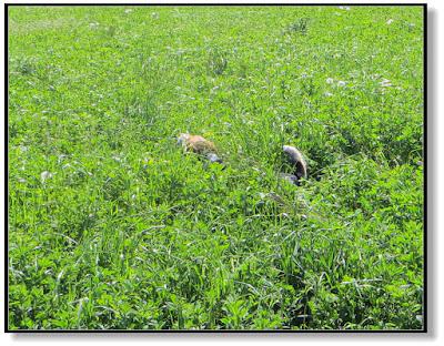 Beagle rennt durch die Wiese