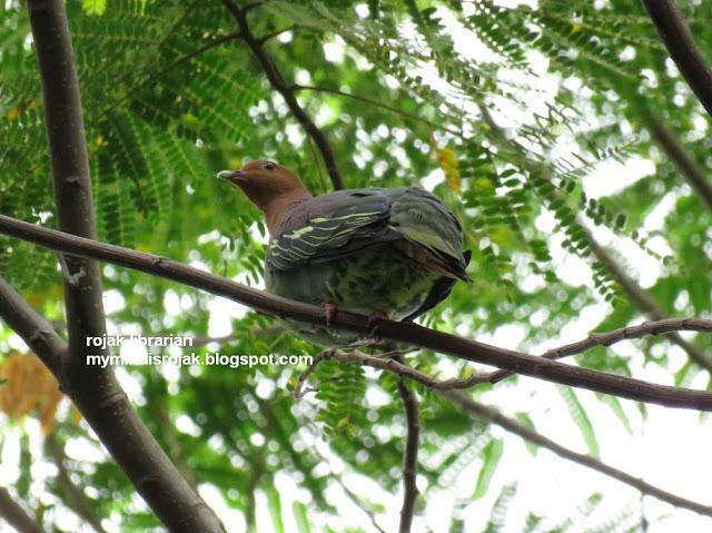 Cinnamon-Headed Pigeon in Ubin