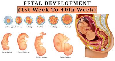 Fetal development week by week