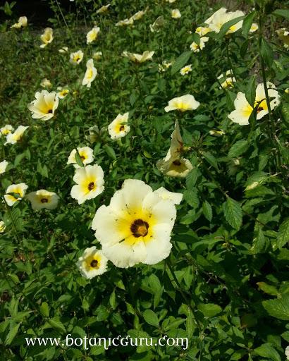 Turnera subulata, White Alder