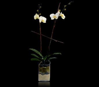 http://www.stapleton-floral.com/boston-flowers/phalaenopsis-orchid-in-glass-399129p.asp?rcid=120496&point=1