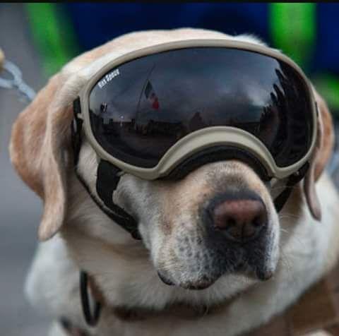 Frida, il cane Labrador Supereroe che cerca superstiti del Terremoto in Messico