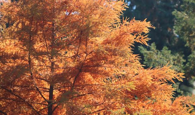 chiparosul de balca, taxodium distichum, conifer cu ace cazatoare, culoare toamna, pom de balta, sol umed, arbore