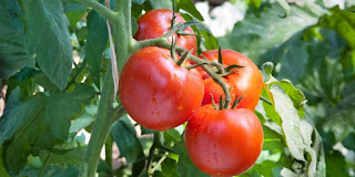 8+ Benefits Eatting of Tomato for Health - Healthy T1ps