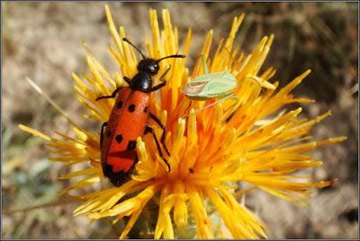Escarabajo libando