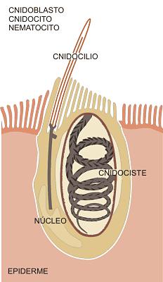 Cnidoblastos o nematocistos. Esquema de un cnidoblasto y su anatomía.