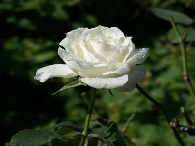 New Beautiful White Rose HD Wallpapers Beautiful White Rose Wallpaper