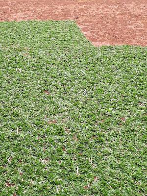 Pertanian Rumput Gajah Mini