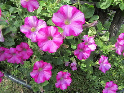 Cottage Garden - Trailing Petunia
