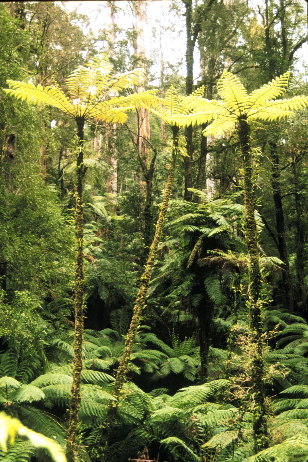 tree ferns are vascular plants and their spore producing generation is the main plant that can get quite tall  [ 1068 x 1600 Pixel ]