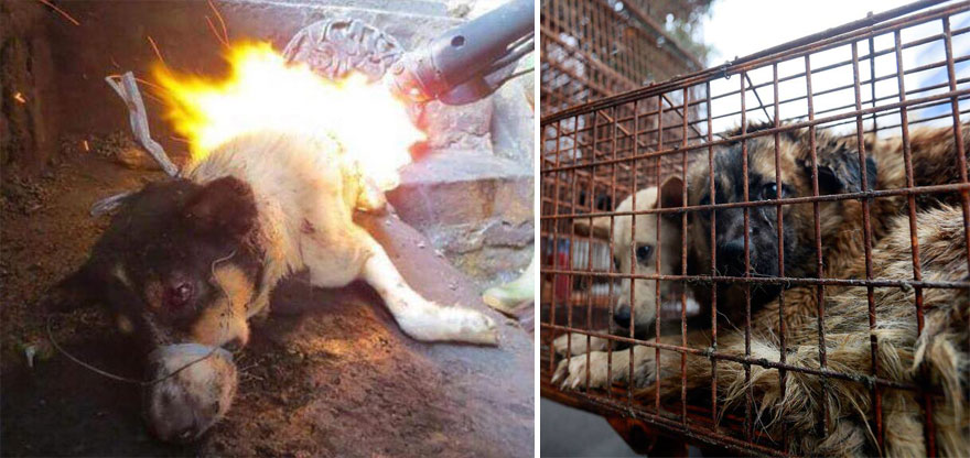 Many have accused the organizers of unnecessary cruelty when cooking the dogs - Chinese Woman Travels 1,500 Miles And Pays $1,100 To Save 100 Dogs From Chinese Dog-Eating Festival