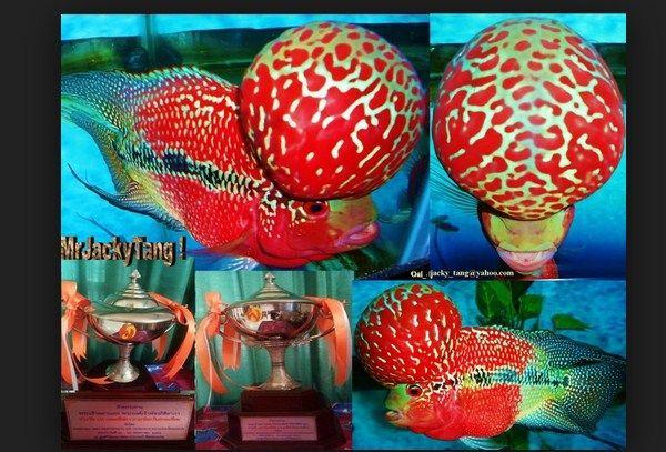 Gambar  Terbaik Ikan Luohan juara kontes