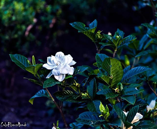 Una flor blanca de jasmín entre verdes hojas.