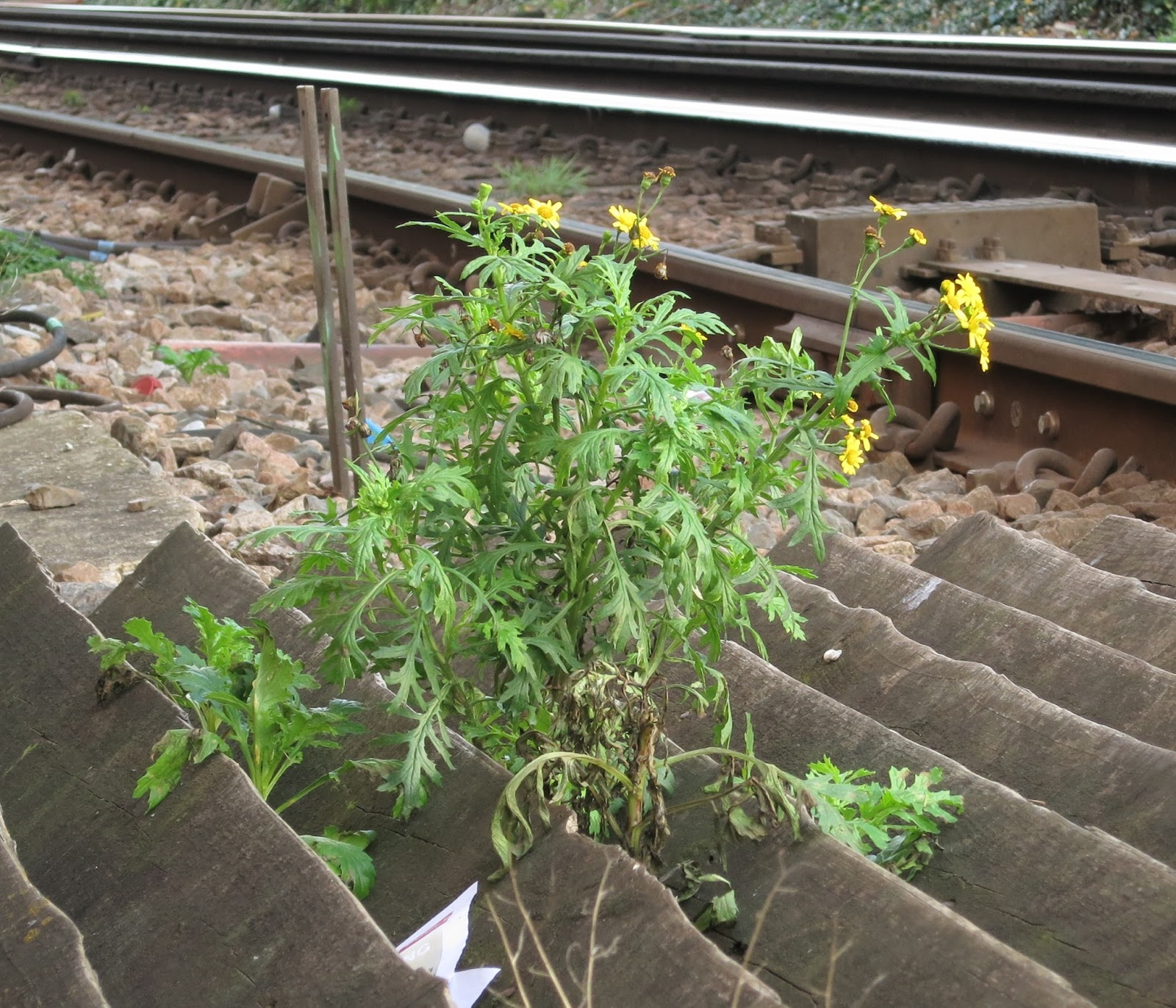 Oxford Ragwort plant in flower by railway tracks.