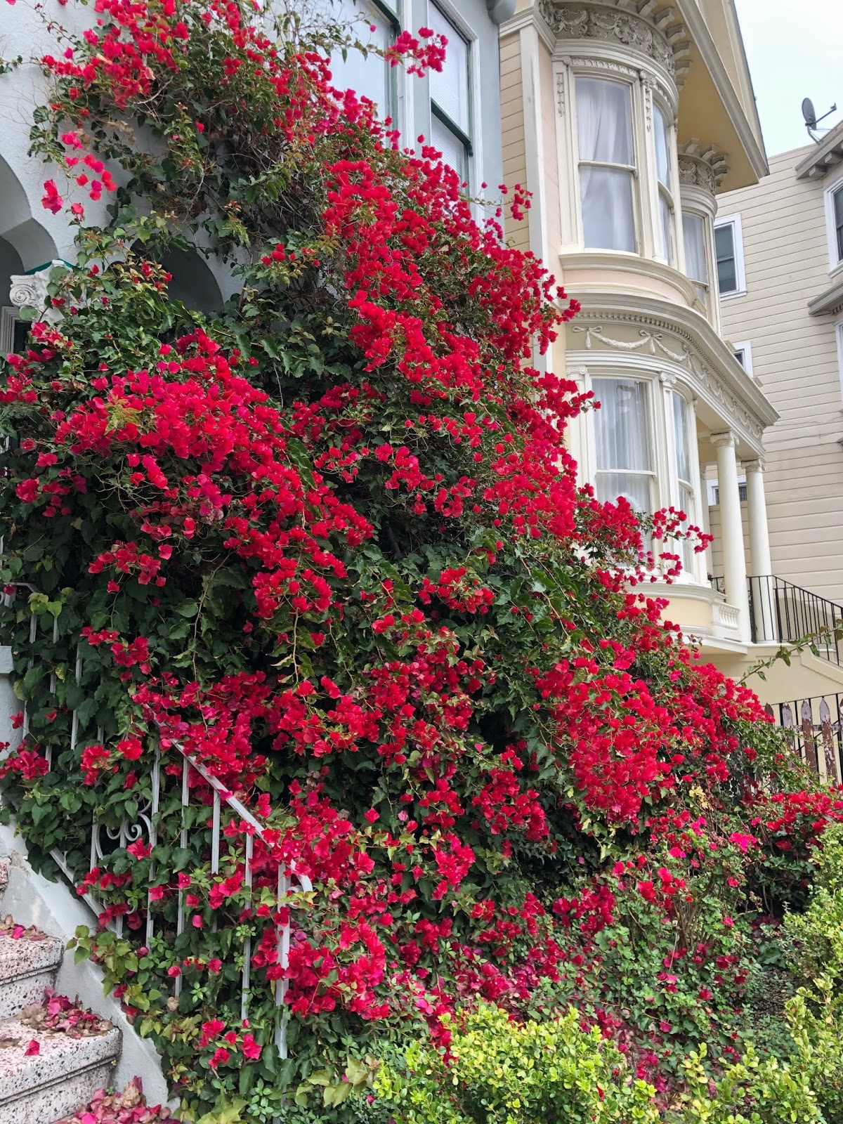 bright pink bougainvillea in san francisco, california.
