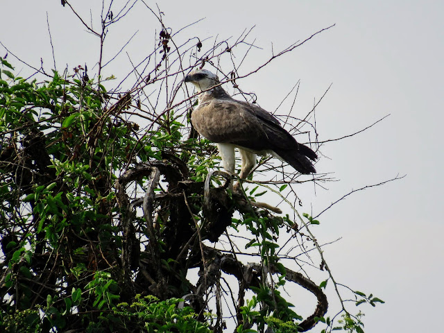 A Marshall Eagle in Western Uganda