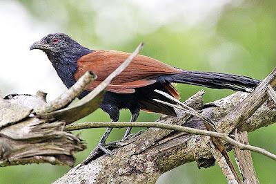 burung bobot