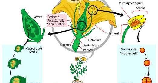 Perbedaan Vegetatif dan Generatif pada Perkembangbiakan ...