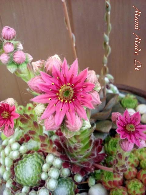 Sukkulentenliebe - Succulents Love