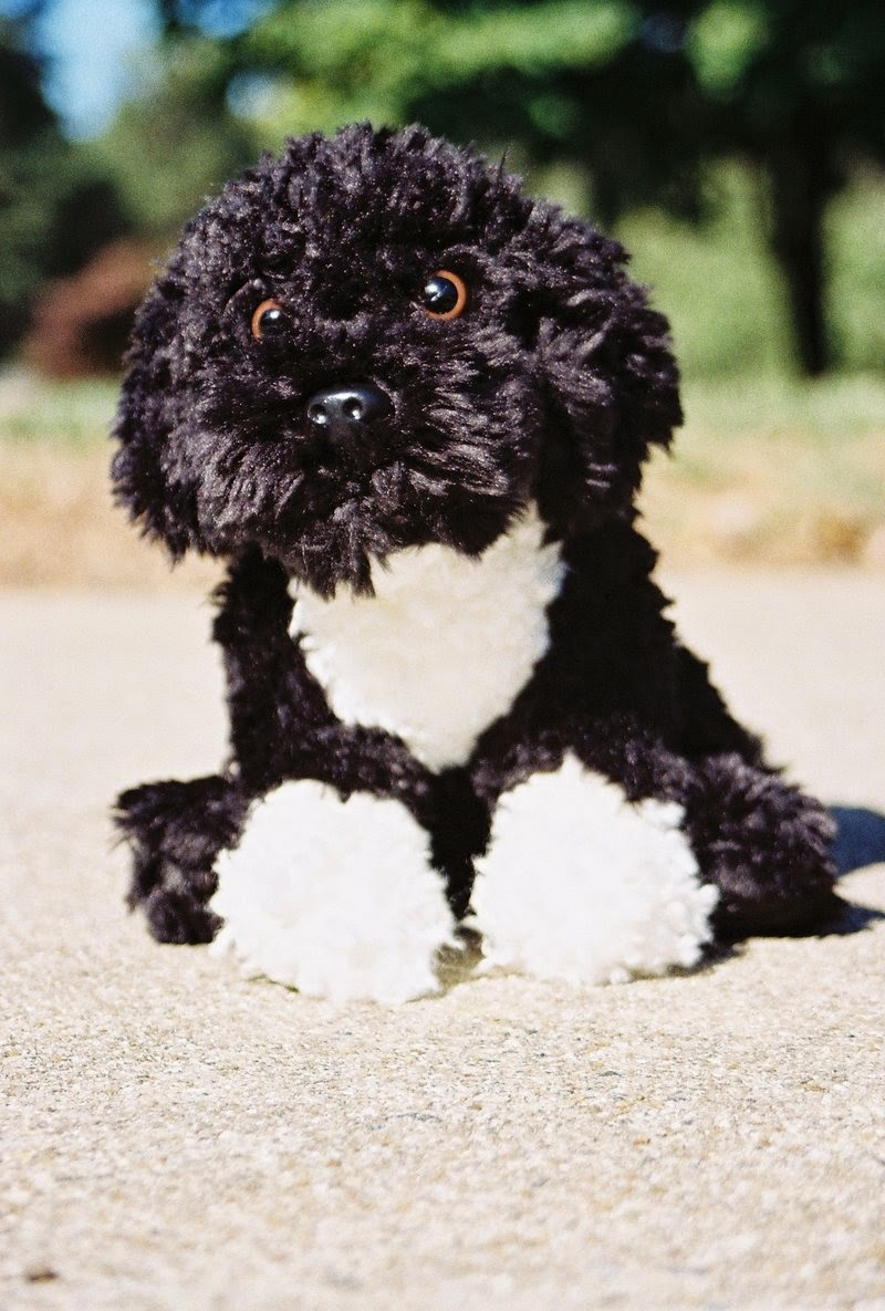 Everything About Your Portuguese Water Dog Luv My Dogs