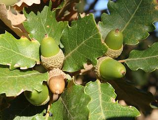 Bellotas y frutos de roble albar (Quercus petraea)