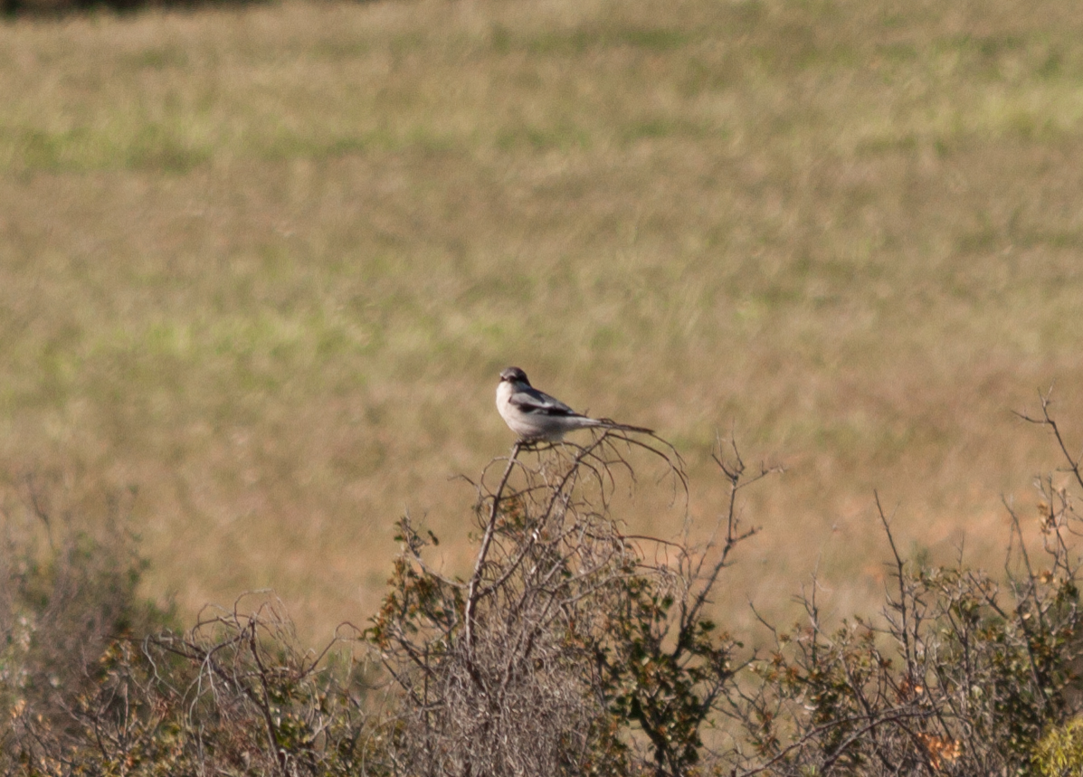 Southern Grey Shrike - Spain