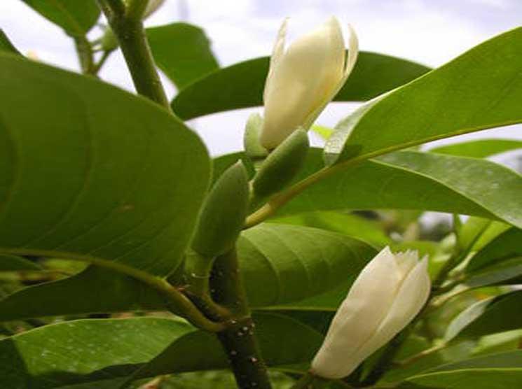 Pohon Cempaka Elmerrillia ovalis