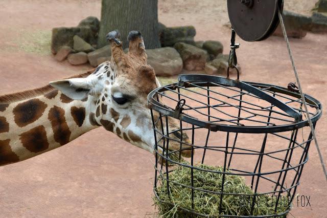 Giraffen Erlebnis-Zoo Hannover