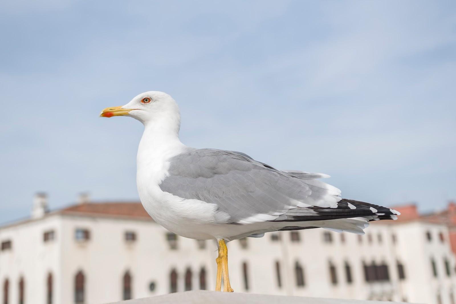 Mouette Venise Italie