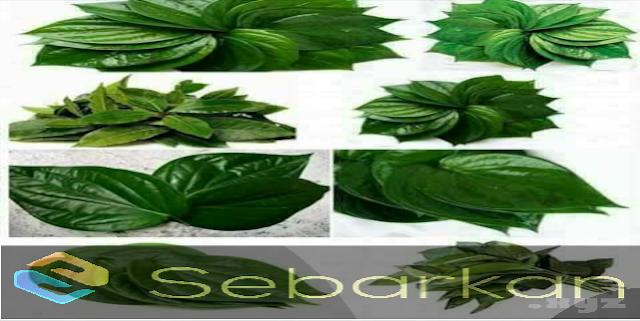 manfaat daun sirih untuk kesehatan dan kecantikan alami