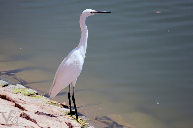 Little Egret - Bengaluru