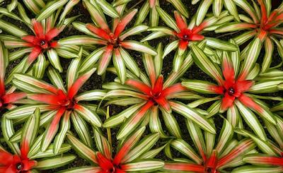 Tanaman Hias Bromelia Neoregelia