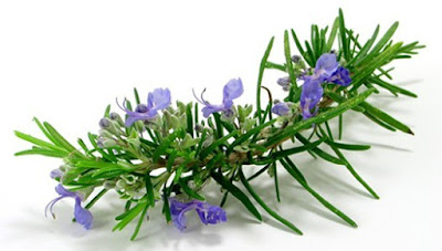 Rosemary grows as a shrub, woody tree that has green needles-leaves with aromatic scent of rosemary specific. Rosemary flowers are hidden in the form of sheets bloom basically and have a pretty blue to purple color.