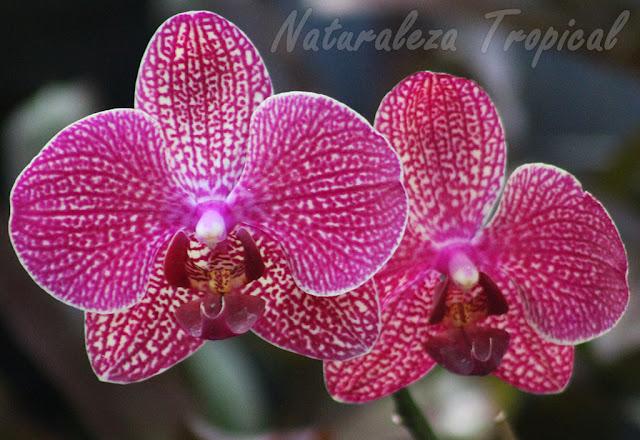 Pétalos y sépalos blancos con numerosas líneas y puntos violáceos y labelo rojo vino. Orquídea Mariposa (género Phalaenopsis)