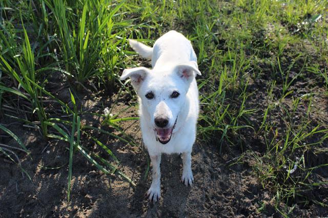 Sugar the dog looks happy walking on the farm