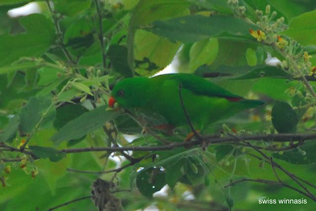 Dalam bahasa Inggris dikenal dengan nama  Mengenal Burung Serindit Jawa