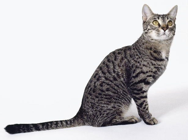 Cat With A Very Long Tail