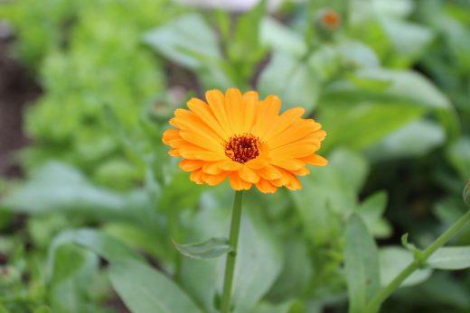 cach trong hoa cuc xu xi