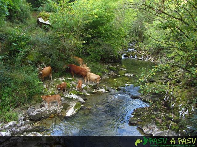 Vacas en el Rio Casaño