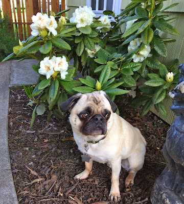 Liam the pug looks worried as he sits next to a garden statue