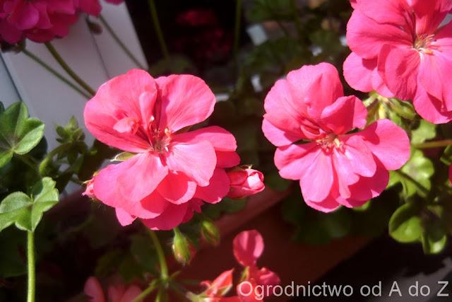 Pelargonium x hederifolium